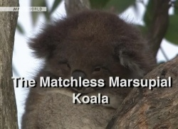 Wildlife - The Matchless - Marsupial Koala